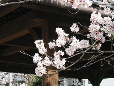 20070415_sakura_02