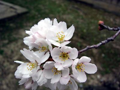 加速する桜の開花