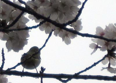 満開の桜にメジロ