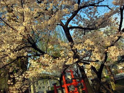 風雨に耐えて残る桜