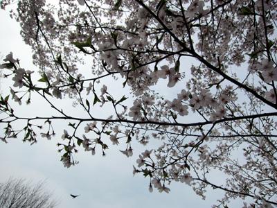 度重なる雨風で散らされた桜の枝