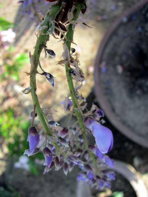 花を食べ落とされた藤の房