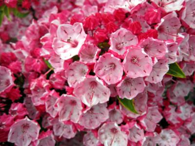 アポロチョコの花