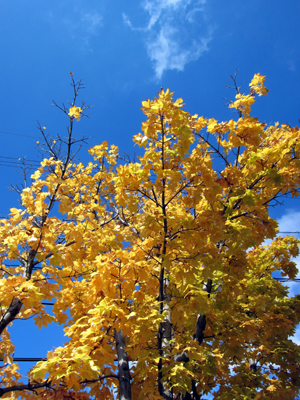 秋の黄色い葉(楓?)
