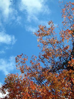 秋の赤い葉(桜)