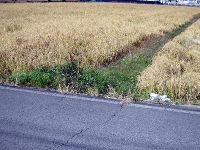 未収穫の稲田