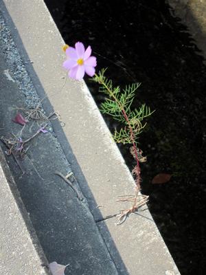 用水ブロックの隙間に咲くコスモス一輪