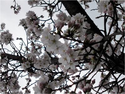 4月3日桜開花