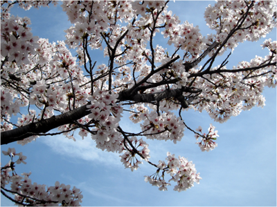 桜20160409